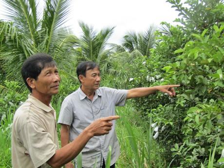 Nhiều hộ trong xã Tích Thiện đã cải tạo vườn trồng ổi Nữ hoàng như nhà ông Nẫm.