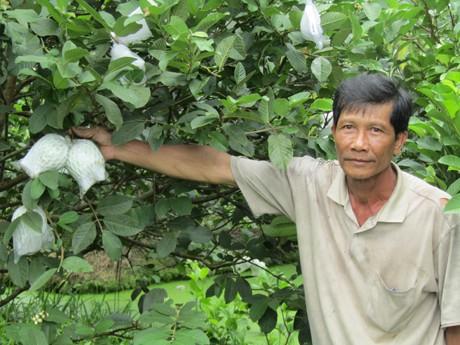 Ông Nẫm cho biết, mỗi cây ổi Nữ hoàng hơn 2 năm tuổi cho sản lượng trái khoảng 70 ký/năm.