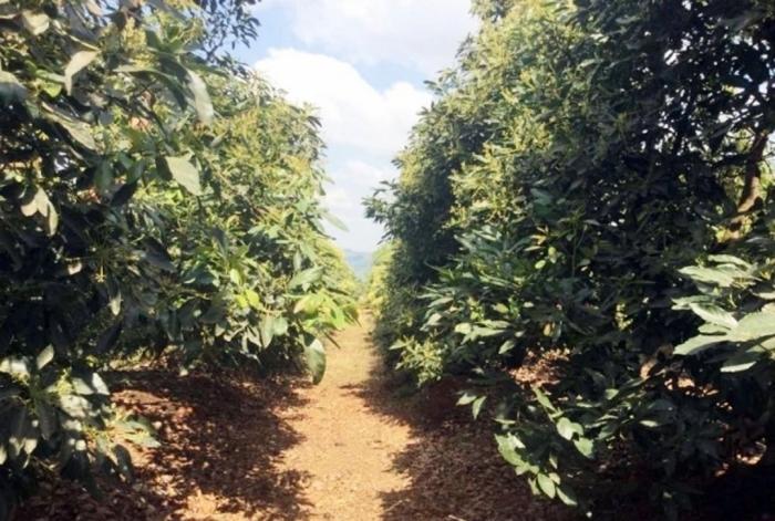 Ở Nam Phi, bơ được trồng trên luống cao, thoát nước tốt. Ảnh: Nguyễn Minh Châu.