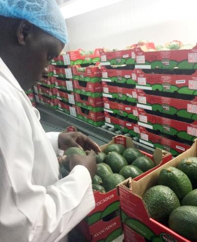 Bơ ở Nam Phi được thu hoạch đóng gói, bảo quản rất cẩn thận. Ảnh: Nguyễn Minh Châu.
