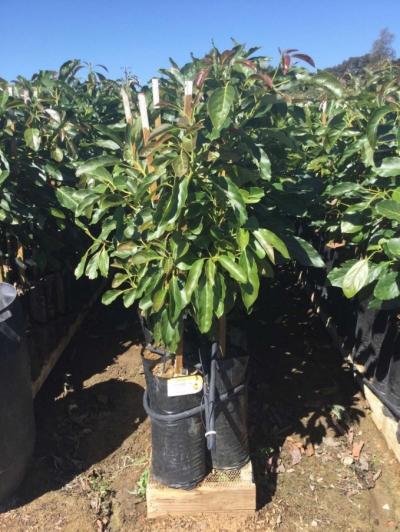 Cây giống bơ sạch bệnh ở Mỹ, cây cao lớn mập mạp, khỏe mạnh. Ảnh: Nguyễn Minh Châu.