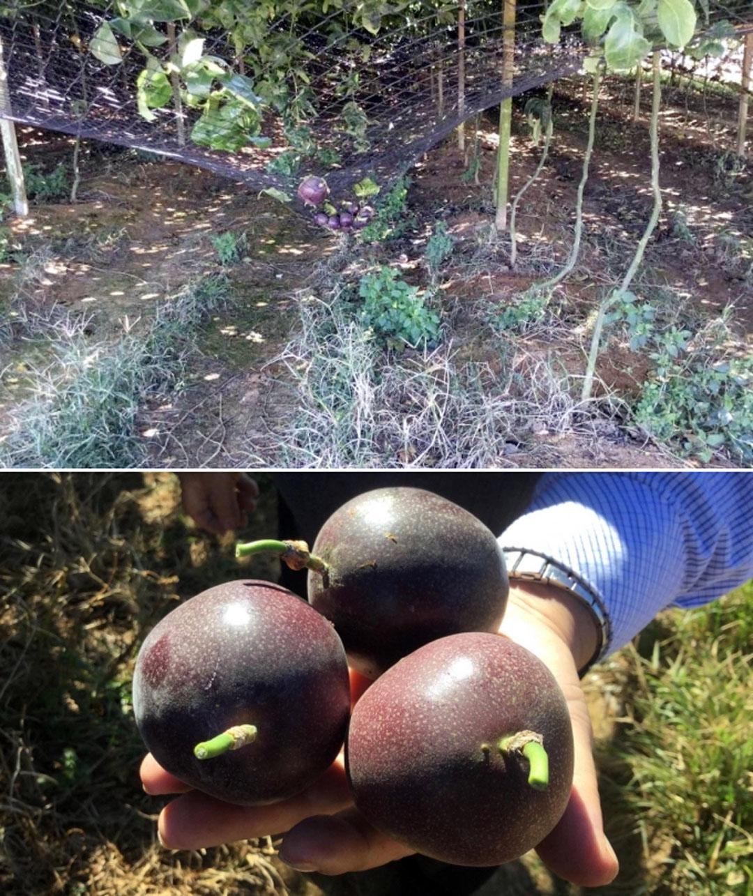 Quả chanh dây ở Đài Loan để chín cây tự rụng xuống lưới, đảm bảo chất lượng tốt nhất. Ảnh: Nguyễn Minh Châu.