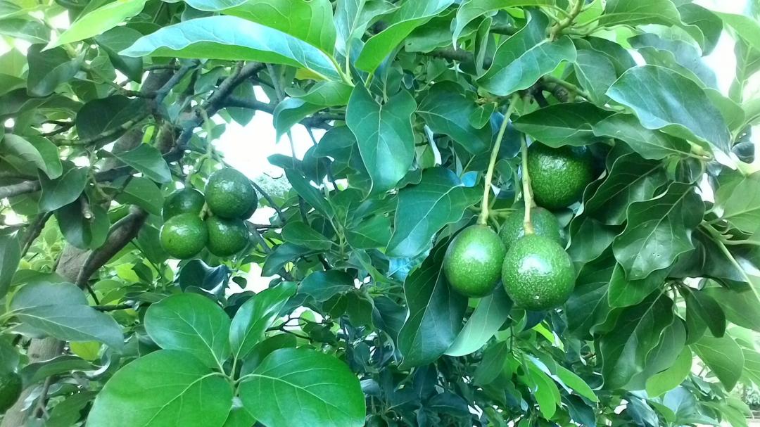 Tây Nguyên đất đai màu mỡ, phù hợp phát triển cây bơ và nhiều loại cây ăn trái giá trị.