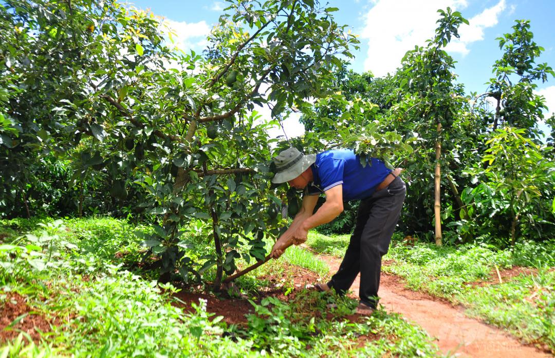 Tại đây, ông trồng xen vào vườn cà phê 4 giống bơ có giá trị kinh tế cao và 300 cây sầu riêng.